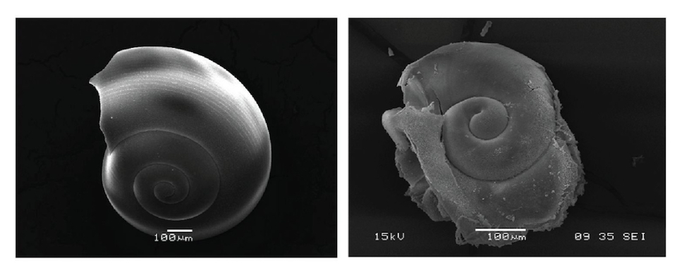 shell disolves in acidic ocean